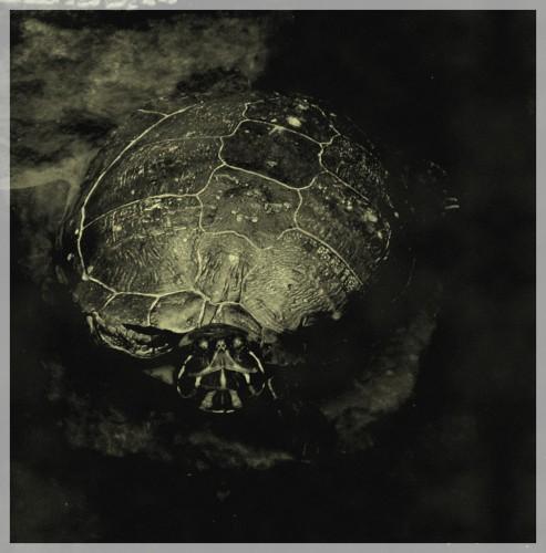 tortue avec encadrement.jpg